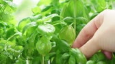 Someone hand picking fresh basil in herbal garden