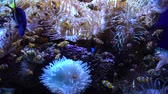 плавники : Swimming tropical coral fish with unserwater corals Стоковые видеозаписи