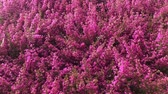 funda : heather fresh fall flowers background in garden center