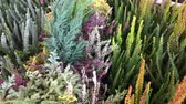common heather : heather flowers, pine trees, cabbage and other autumn plants background