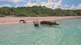expedição : Wild swimming pigs on Big Majors Cay. Bahamas.