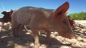 contato : Wild, swimming pig contact with tourists on Big Majors Cay in Bahamas.