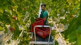 natural : Friendly agronomist checking tomatoes in greenhouse.