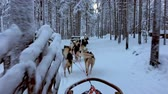 снег : Riding husky sledge in Lapland landscape Стоковые видеозаписи