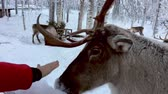 chlad : Touching a reindeerr in a winter landscape