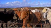 cavalo : Beautiful icelandic horses in northen landscape Stock Footage