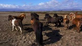 horse gait : Beautiful icelandic horses in northen landscape Stock Footage