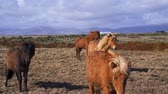 wild : Beautiful icelandic horses in northen landscape Stock Footage
