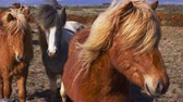 fazenda : Beautiful icelandic horses in northen landscape Stock Footage