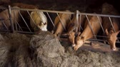 feno : Cows eating hay in a barn