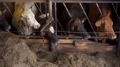 produktivita : Cows eating hay in a barn