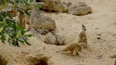 perigo : Group of funny meerkats