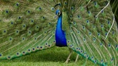 ojo : Hermoso pavo real close-up Archivo de Video