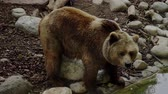 perigo : Brown bear drinking water Stock Footage