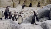 espécies : Humboldt Penguins walking in the zoo.