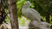 pelicans : Dalmatian pelican in zoo Stock Footage