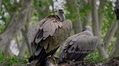eagle : Large vulture zoo Stock Footage