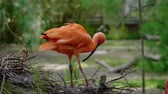 penas : Scarlet ibis close-up shot