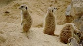suricate : Group of funny meerkats