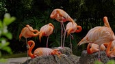 zoo : American flamingos playing in a pond Stock Footage