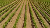 espanha : Aerial view of vineyard Stock Footage