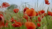 fleurs sauvage : Field of blossoming poppies