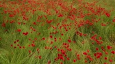 blooming : Field of blossoming poppies