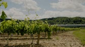 toszkána : Beautiful vineyard at sunny day