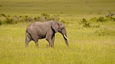 terneros : African elephants in Masai Mara park, Kenya Archivo de Video