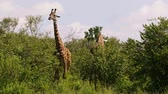 akác : Reticulated giraffe couple in a Kenya