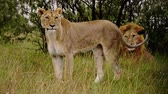 etobur hayvan : Lion and lioness in Kenya, Africa.