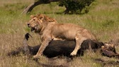 leeuwen : East african lion protecting his cape buffalo prey Stockvideo