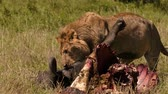 bivaly : East african lion protecting his cape buffalo prey Stock mozgókép