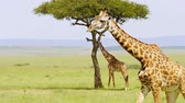 de amor : Reticulated giraffe couple in a Kenya