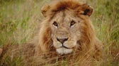 サバンナ : Close up of male lion in Kenya, Africa.