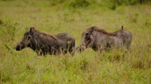 porco : Warthogs eating grass at Maasai Mara National Reserve, Kenya.