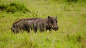 de amor : Warthogs eating grass at Maasai Mara National Reserve, Kenya.