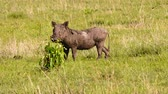 porco : Warthog eating grass at Maasai Mara National Reserve, Kenya.