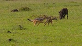 サバンナ : Warthogs and black-backed jackals at Maasai Mara National Reserve, Kenya.