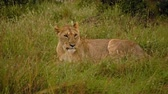サバンナ : Beautiful lioness in Kenya, Africa. 動画素材