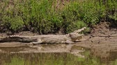 krokodyl : Nile crocodile in the Masai Mara of Kenya, Africa.