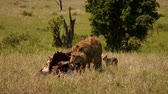 サバンナ : East african lion protecting his cape buffalo prey 動画素材