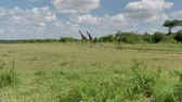 サバンナ : Reticulated giraffe couple in a Kenya