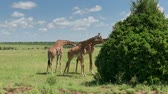 game reserve : Reticulated giraffe couple in a Kenya