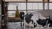 terneros : Cows in a cowshed on a dairy farm