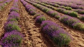 perfumy : View of a beautiful lavender field Wideo