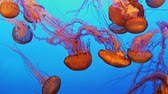 Magnificent exotic jellyfishes in an aquarium Stok Video