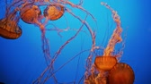 Magnificent exotic jellyfishes in an aquarium Wideo