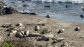 Sea lions resting on a Pacific Coast beach Wideo