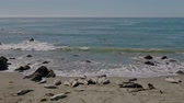 Sea lions resting on a Pacific Coast beach Stok Video